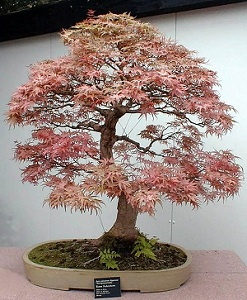 japanese-maple-armin-k-belbeck.jpg