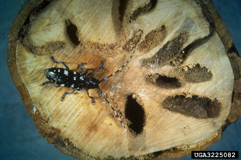 longhorn-asian-beetle-holes.jpg