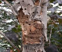 longhorn-asian-beetle-tree.jpg