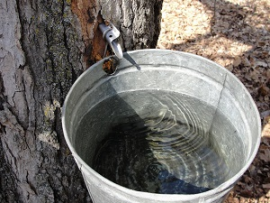 maple-sap.jpg