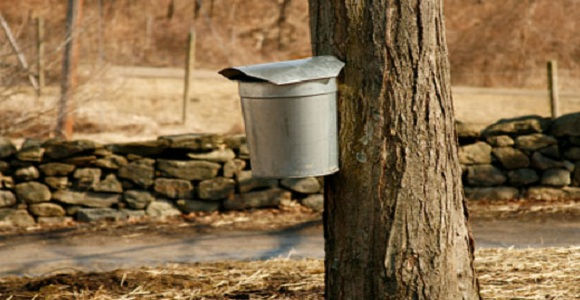 maple-tree-bucket.jpg